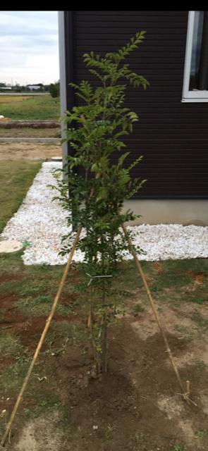 シマトネリコ植える