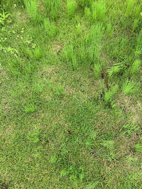 芝生 スギナ