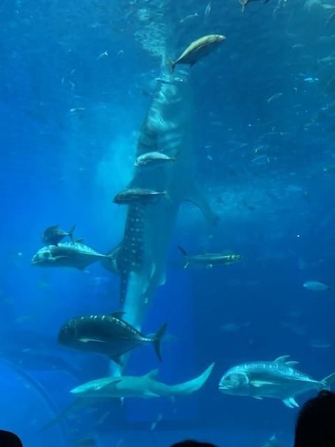 美ら海水族館 ジンベエザメ 餌やり