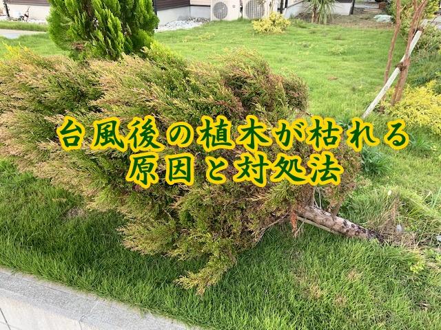 台風 植木 枯れる